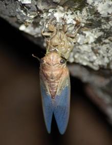cicade2
