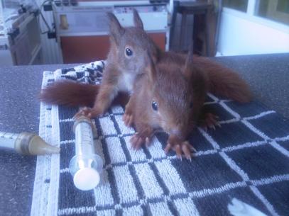 jonge_eekhoorns