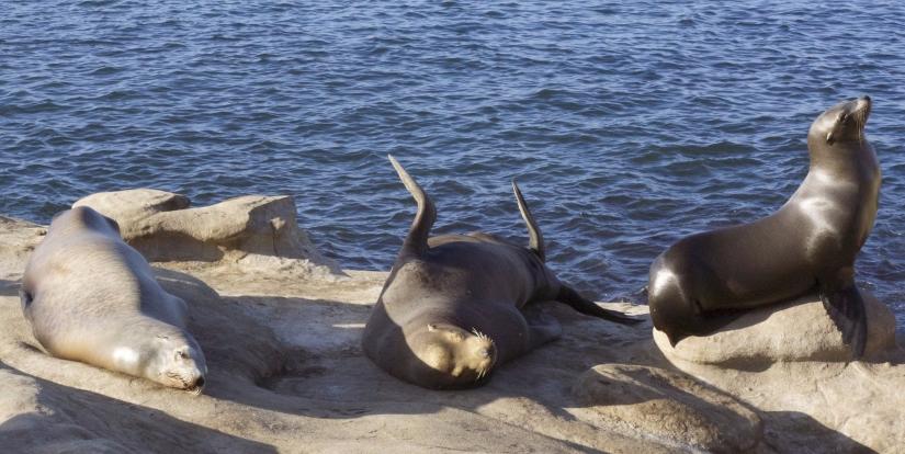 sea-lion-2031836_1920