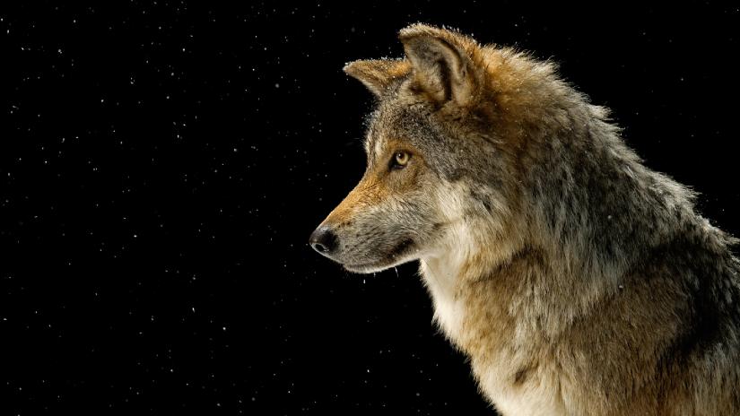 wolf-2730408_1920