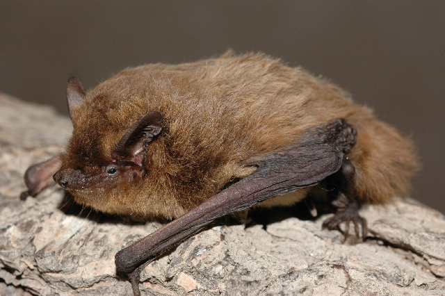 Nathusius pipistrelle. Photo credit: Evgeniy Yakhontov, Creative Commons Attribution-Share Alike 3.0 Unported